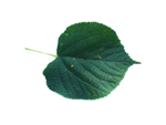 common lime leaf