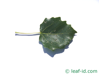 leaf of grey poplar