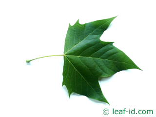 leaf of lomdon plane tree