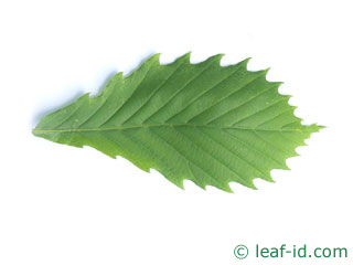 mongolian oak leaf