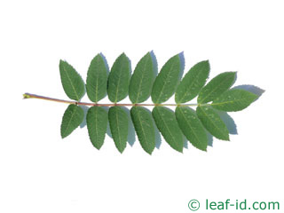 the leaf of showy mountain-ash