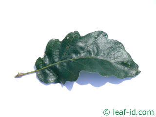 leaf turkish oak