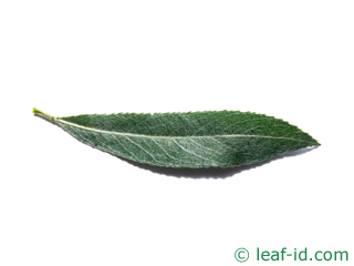 leaf white willow