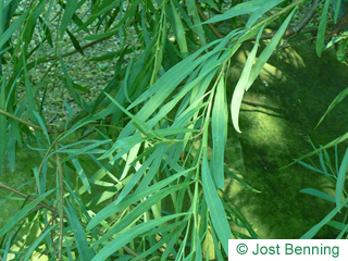 The lanceolate leaf of Ouorn Wattle