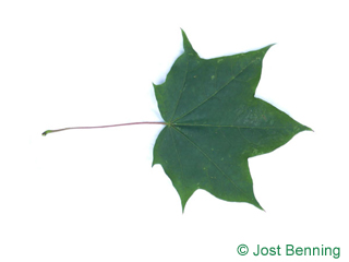 The lobed leaf of Cappadocian Maple