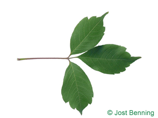 The compound leaf of Vine-leafed Maple