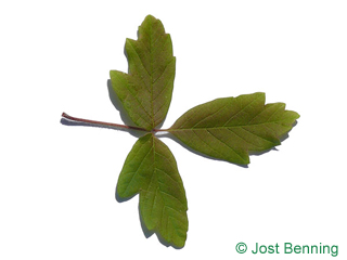 The compound leaf of Paperbark Maple