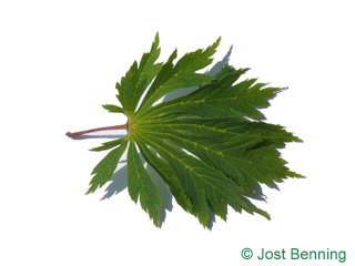 The lobed leaf of Cut-Leaved Japanese Maple