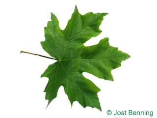 The lobed leaf of Big Leaf maple