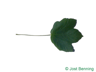 The lobed leaf of Italian Maple