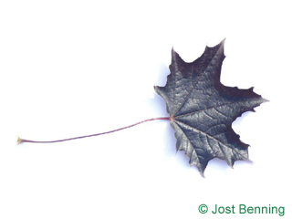 The lobed leaf of Red Norway Maple