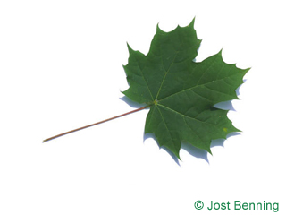 The lobed leaf of Norway Maple