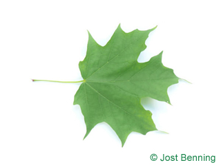 The lobed leaf of Sugar Maple