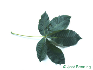 The compound leaf of Ruby Horsechestnut