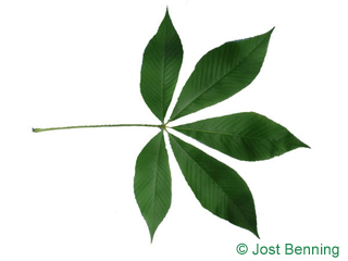 The compound leaf of Yellow Buckeye