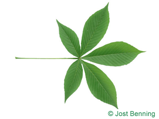 The compound leaf of Ohio Buckeye
