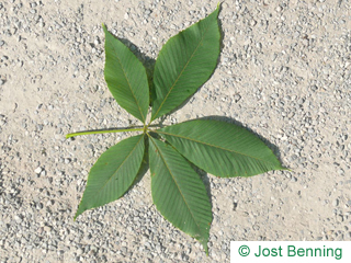 The compound leaf of Yellow Horsechestnut