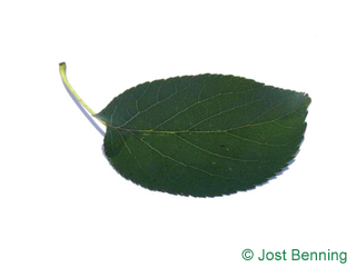 The ovoid leaf of Italian Alder