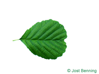 The rounded leaf of European Alder