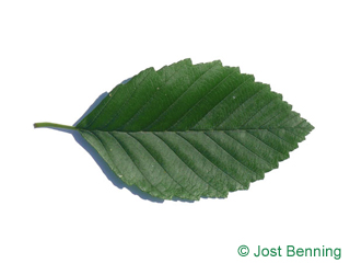 The ovoid leaf of Red Alder