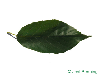 The ovoid leaf of Spaeth's Alder