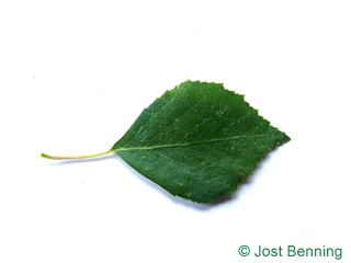 The ovoid leaf of Birch