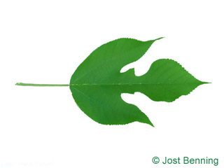 The lobed leaf of Paper Mulberry