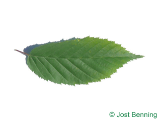 The ovoid leaf of American Hornbeam
