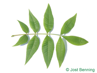 The compound leaf of Pignut