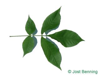 The compound leaf of Shagbark Hickory