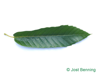 The lanceolate leaf of European Chestnut