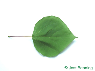 The heart-shaped leaf of Southern Catalpa