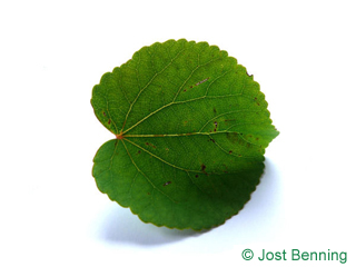 The rounded leaf of Katsura Tree