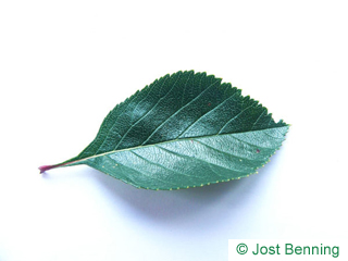 The ovoid leaf of Cockspur Hawthorn