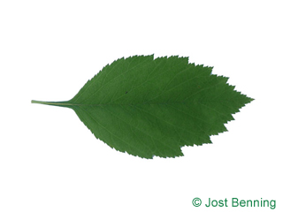 The ovoid leaf of Downy Hawthorn