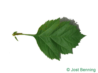 The ovoid leaf of Redhaw Hawthorn