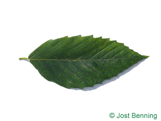 The lanceolate leaf of American Beech