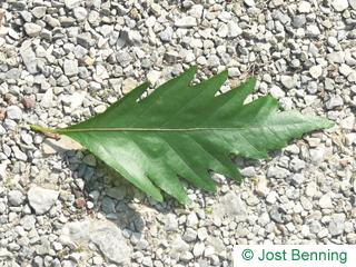 The sinuate leaf of Oak Leaved Beech