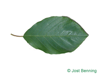 The ovoid leaf of Alder Buckthorn