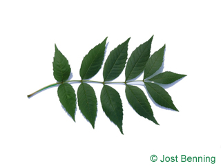 The compound leaf of Ash