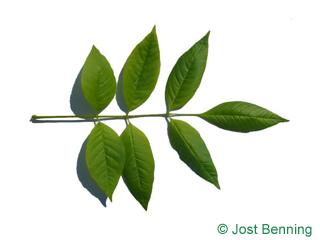 The compound leaf of Pumpkin Ash