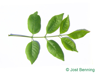 The compound leaf of Texas Ash