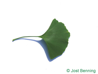 The fan-shaped leaf of Maidenhair Tree