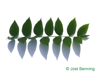 The compound leaf of Kentucky Coffee Tree