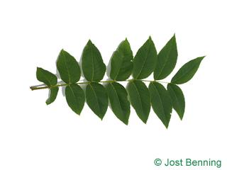 The compound leaf of Black Walnut