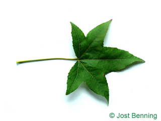 The lobed leaf of Sweetgum