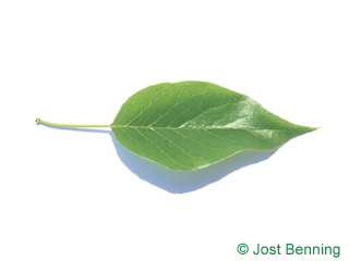 The ovoid leaf of Osage-Orange, Bois-D'Arc