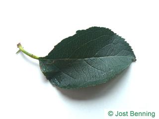 The ovoid leaf of Apple-Tree