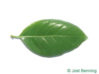 The ovoid leaf of Black Tupelo
