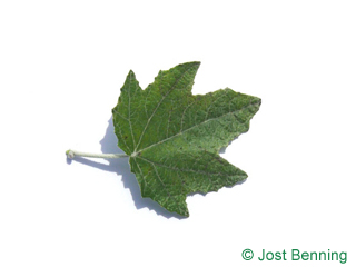 The sinuate leaf of White Poplar